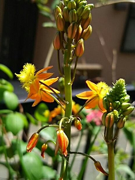ご近所から頂いた花アロエ(ブルビネ・フルテスケンス)の一株がこんなに大きく成って花が咲き始めて来ました!