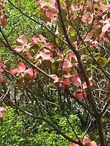 エ~イ~ヤ~♪じゃない「ハナミズキ(アメリカヤマボウシ)」の花