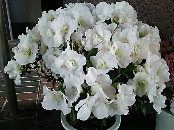 さあ5月です!サツキの花と共に直さん(高橋直純)の新しいお知らせ参ります♪