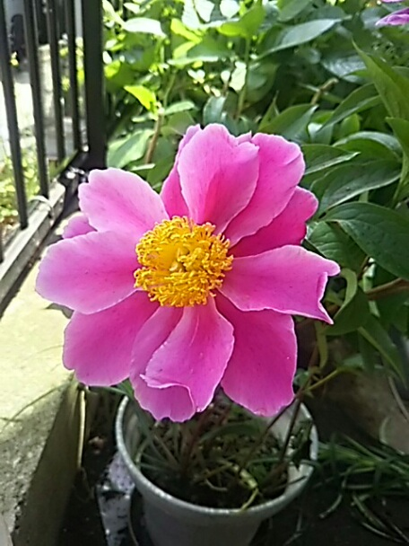 我が家のシャクヤク(芍薬)が咲きました!