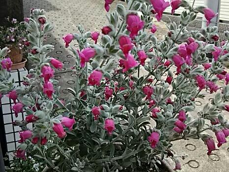 今夜はちょっと変わったらお花です!「ビティロディア・フェアリーピンク」