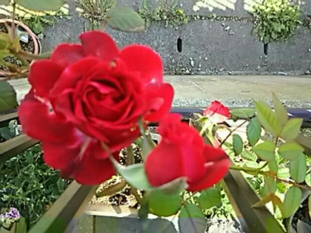 真っ赤なバラも咲き始めました!