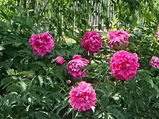 今朝はフラワーセンターに咲くシャクヤク(芍薬)を何種類かアップします!