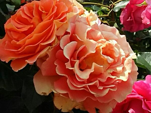 そして今日からはバラ(薔薇)の花を‼