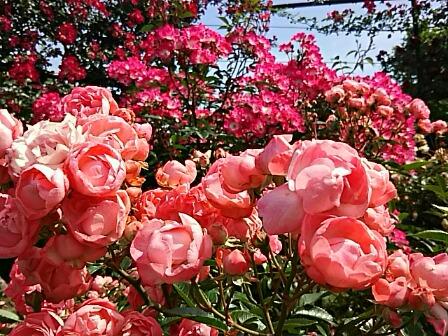 今夜はとっても可愛い、まん丸ポンポン咲きのバラ(薔薇)二つ!