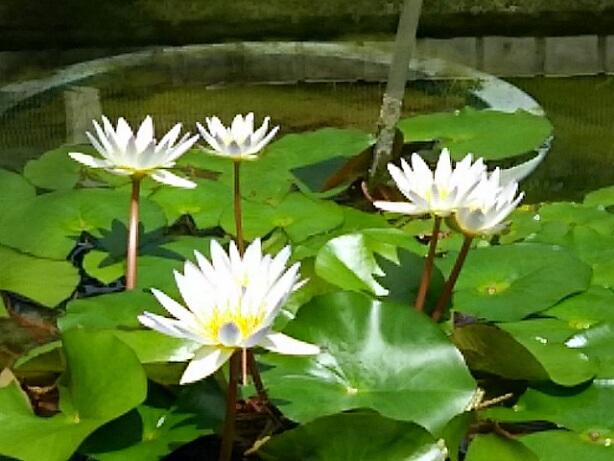 今朝は涼しげなスイレン(睡蓮)のお花を‼(バラは一休み!)