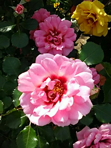 今夜のバラ(薔薇)は中心が濃い色になるインパクトのあるバラたち!