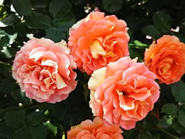 今朝もまだまだバラ(薔薇)のはなで飾ります!