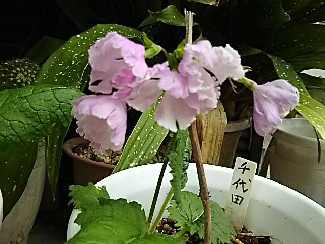 遅くなりましたが我が家の「日本さくらそう(ニホンサクラソウ)」3種類が咲き揃った時の姿を‼