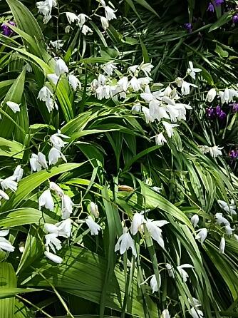 ムラサキセンダイハギ(紫先代萩)とシロバナシラン(白花紫蘭)が咲く八重桜の木の下