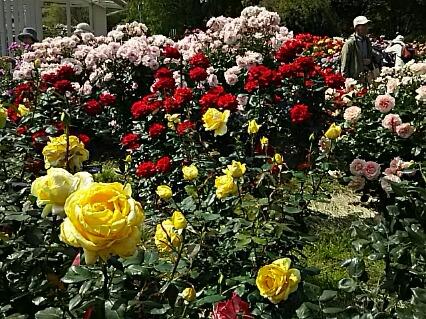 バラの写真がまだまだあるのに載せきれなかったので、こんな集合写真をお届け~!