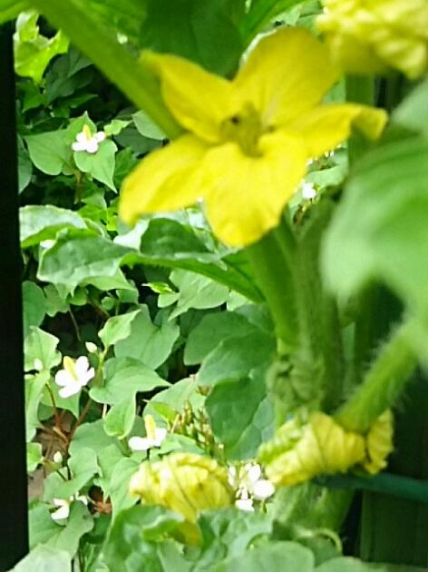 我が家のプランターミニ家庭菜園 の花たち♪