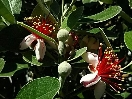 フェイジョア(パイナップルグァバ)の花が咲き始めていました☆