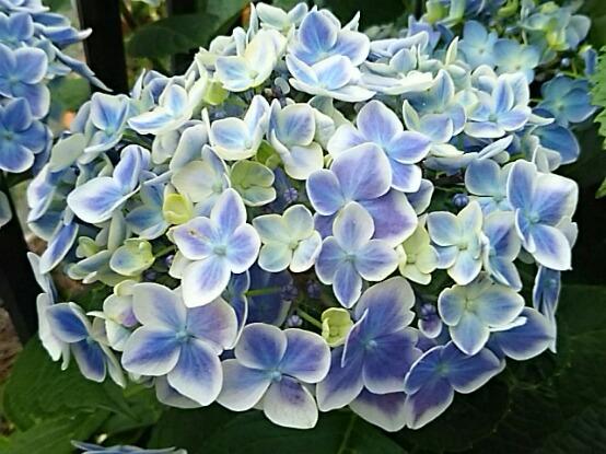 我が家のアジサイも色々次々に咲き始めました!