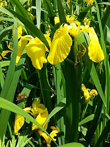 少し遅くなりましたが今朝はキショウブ(黄菖蒲)の花です!