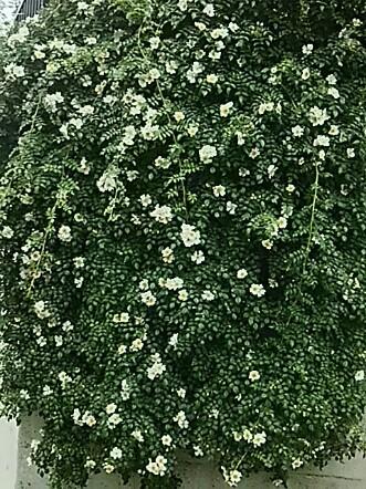 我が家の外壁を覆うように今年もこのバラ(薔薇)が咲き始めました!