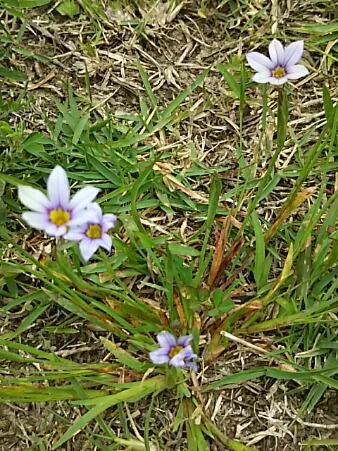 公園に小さなニワゼキショウ(庭石菖)が沢山咲いていました☆