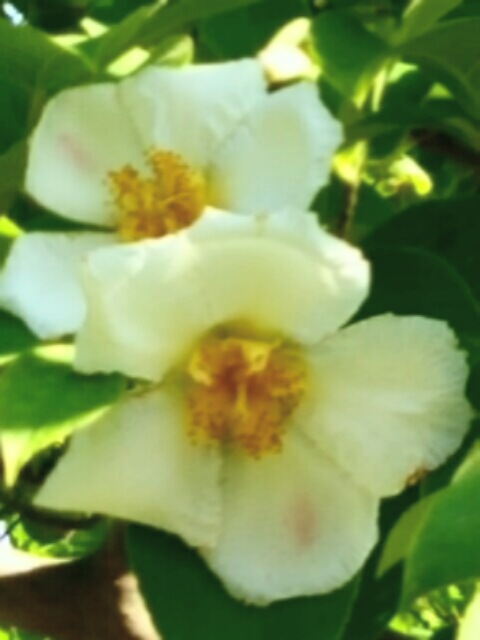 夏椿(ナツツバキ)が咲き始めていました☆
