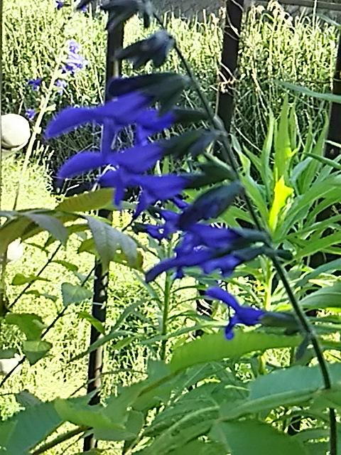 河原に咲いているメドーセージの花はとても深い青色です♪