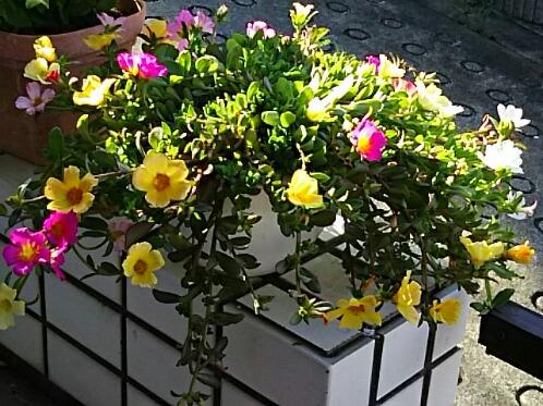 花が少なくなる夏場に嬉しいポーチュラカ(ハナスベリヒユ)