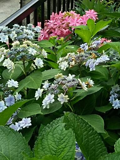 紫陽花(アジサイ)もピークを過ぎた花も今が盛りの物も色々な咲き姿に☆