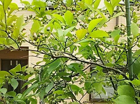 次の収穫待ちの木の実はこのブリーベリーかな♪