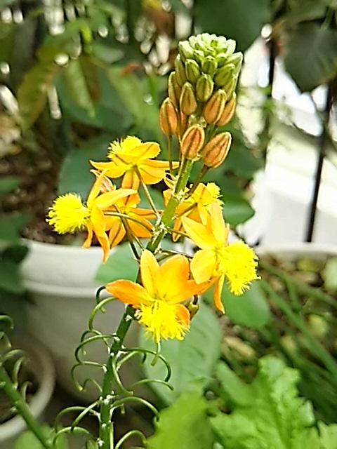春からずっと咲き続けて暮れている嬉しいお花、花アロエ(ブルビネ・フルテスケンス)