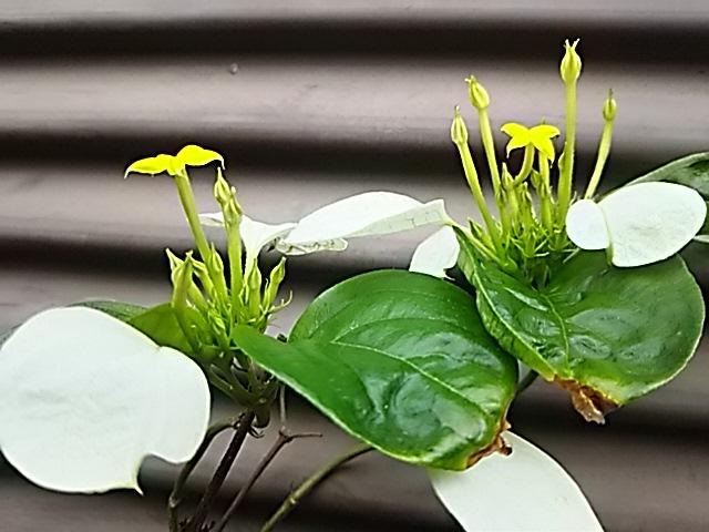 コンロンカ(ハンカチの花、ムッサエンダ)が白く色づき、小さく黄色い星の花が咲き始めました☆