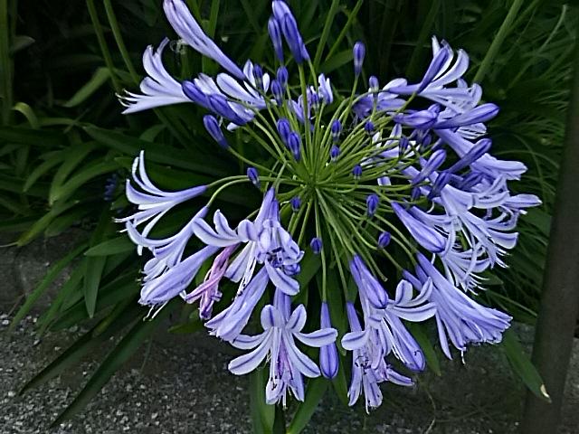 夕方のアガパンサスのこの青は何とも言えない美しさです!☆