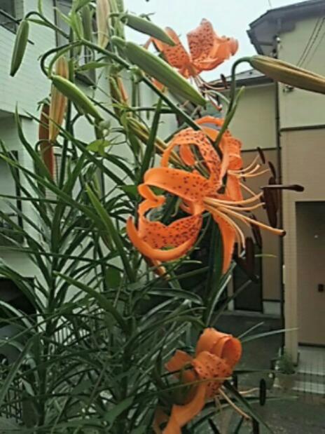 今年も咲き始めたコオニユリ(コオニユリの園芸種?)