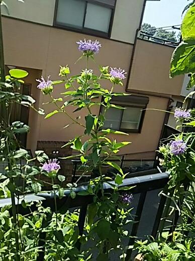 モナルダ(タイマツバナ、矢車ハッカ、ビーバーム、ホースミント、ベルガモット)があちこちから咲き始めました!