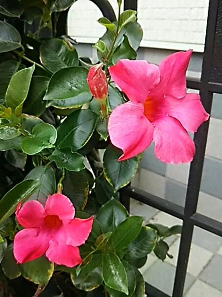 サンパラソルビューティーは今年も元気に咲き始めています!(^-^)v