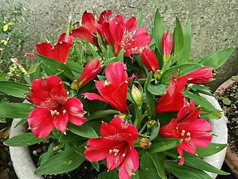 アリストロメリア(インカのユリ、ゆりズイセン)が再び咲き出しました♪