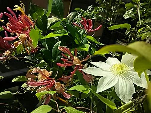 再び咲き始めている庭の花たち♪