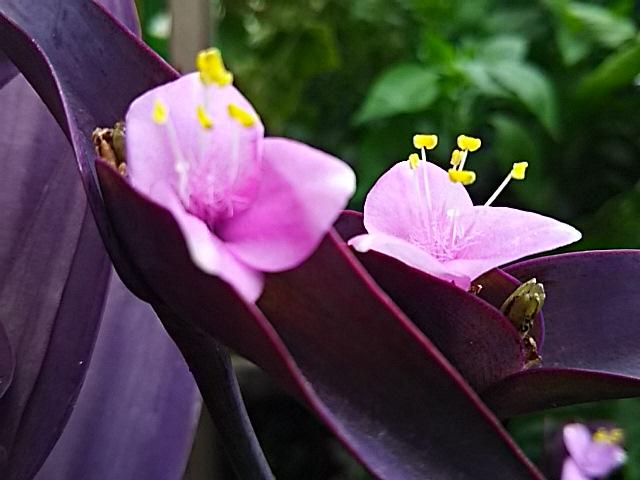 gouk×高橋直純コラボ商品が発売されます‼お花はピッタリのムラサキゴテン♪