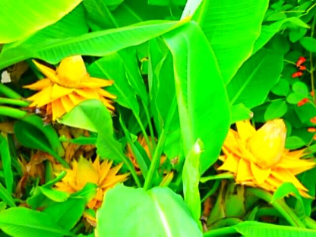 まだまだ見事な咲き姿でした!(チャイニーズ・イエローバナナ、地涌金蓮・チュウキンレン)