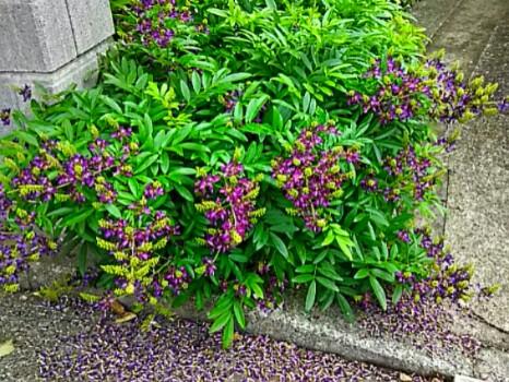 御近所さんの玄関先にサッコウフジ(ムラサキナツフジ、タイワンサッコウフジ)が咲き始めました!