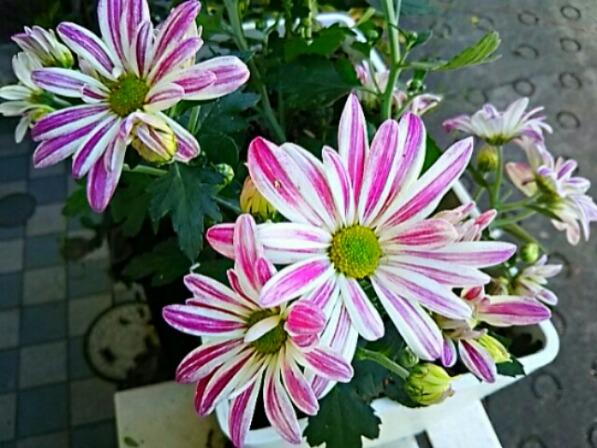 これも菊の花(スプレー菊)