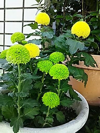 王様が欲しがっていたポンポン咲きの菊(ポットマム)を買いました!可愛い~♪