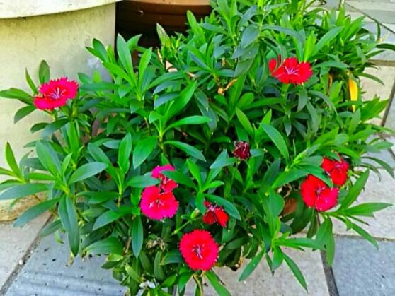 ナデシコの花がまた咲き始めました~!