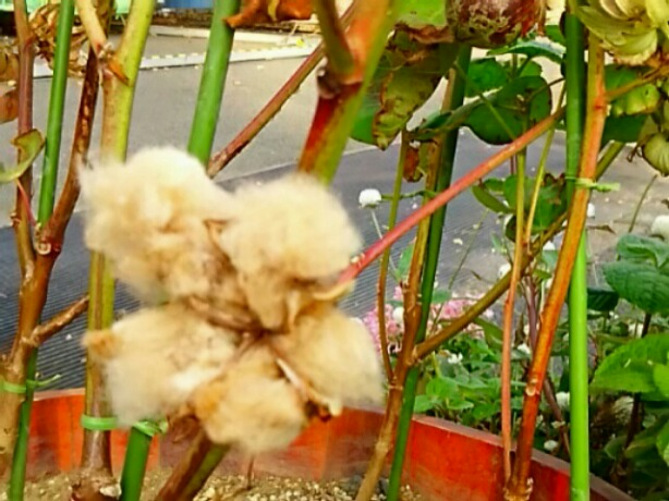 茶色の綿の実は初めてです!