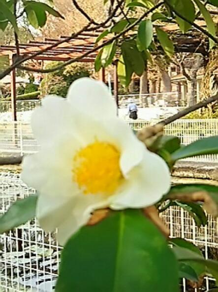 タイワンツバキ(台湾椿、ゴードニア)清楚な白い花