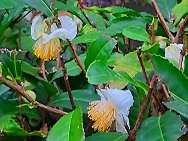 お茶の花も真っ白な花