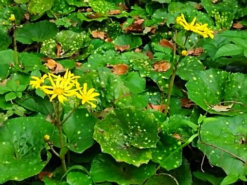 花も葉も美しいツワブキ(石蕗、ツヤブキ)いろいろ