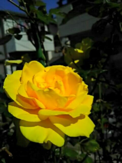 秋のバラ(我が家編)