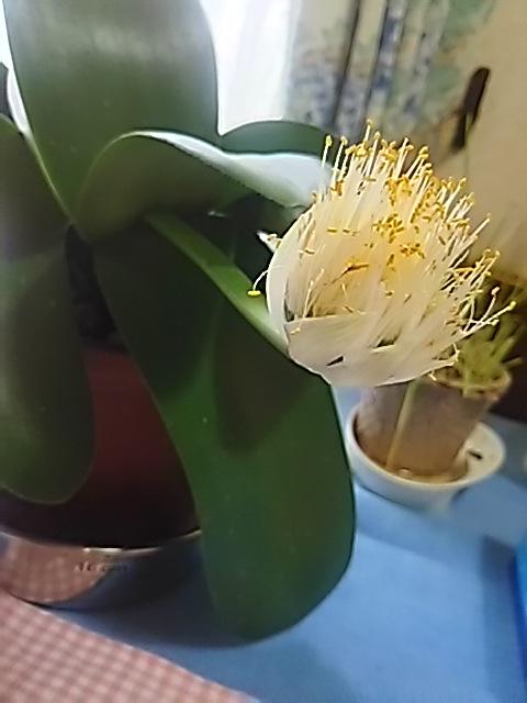 マユハケオモト(眉刷毛万年青、ハエマンサス・アルビフローラ)の花が一本だけ咲きました!