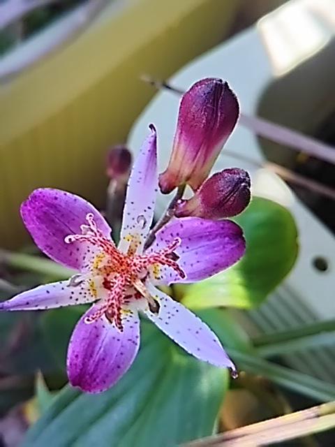 ホトトギスの花がまだ咲いています!(台湾ホトトギス・青龍)