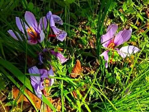 今朝のお花はサフランです!