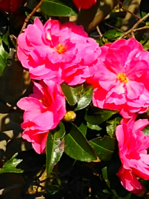 バラのようなサザンカ(山茶花)の花