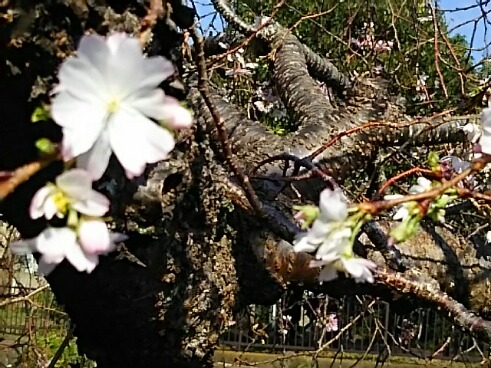 十月桜(ジュウガツザクラ)はこれからもずっと頑張ってくれます!